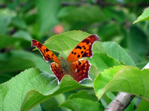 Beautiful butterfly on a cameo apple tree